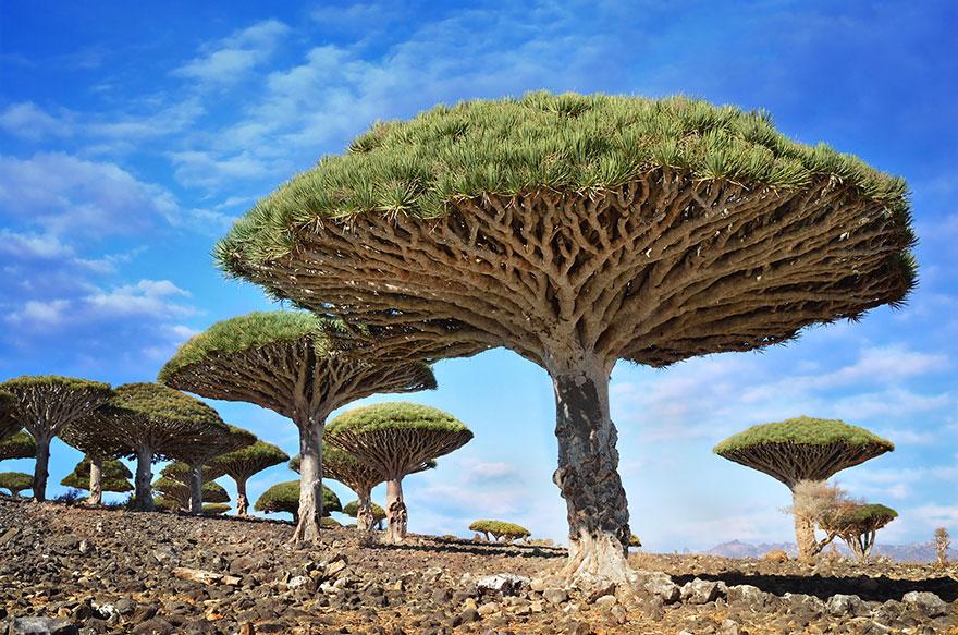 Copaci Dragonblood, Socotra, Yemen