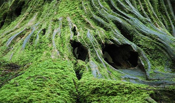 Muschiul creste doar pe partea nordica a copacilor
