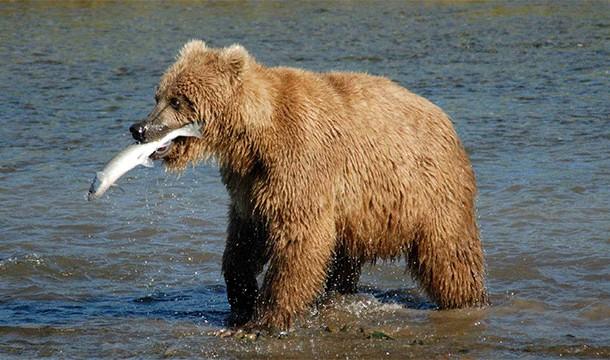 Poti fugi de urs