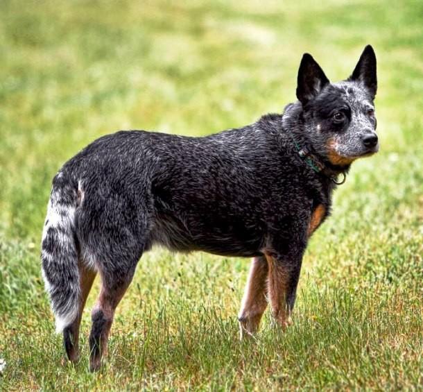Câine de cireadă australian