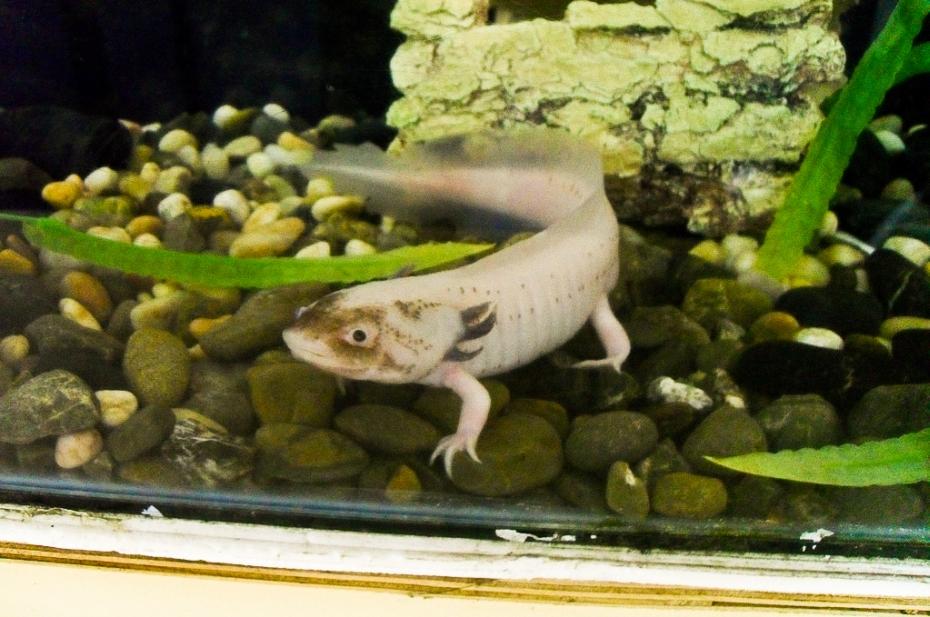 Cele-mai-neobisnuite-animale-axolotl