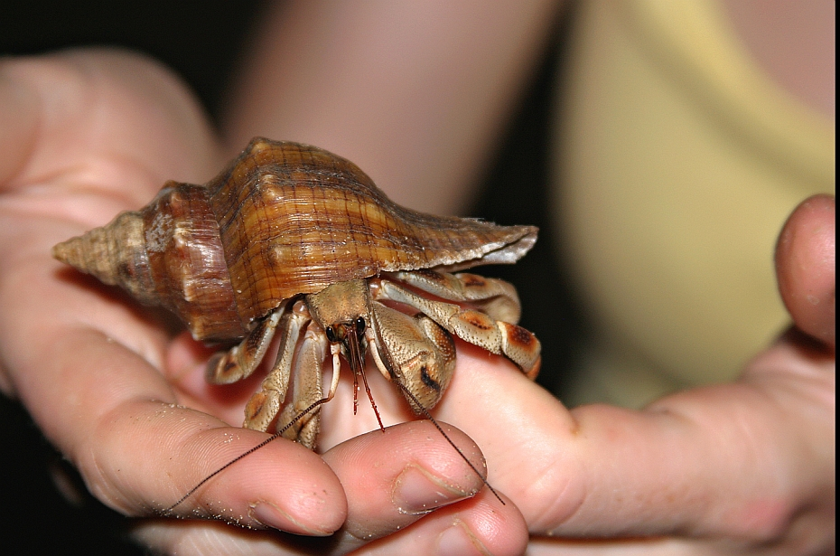 Cele-mai-neobisnuite-animale-de-companie-crabul-pusnic