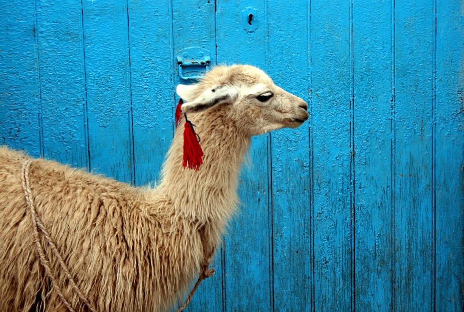 Cele-mai-neobisnuite-animale-de-companie-lama