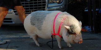 Cele-mai-neobisnuite-animale-de-companie-porc