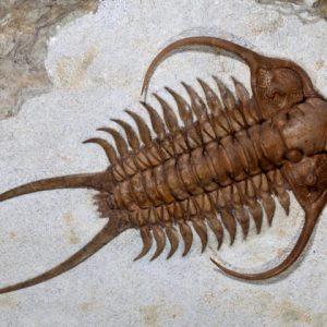 cei mai temuti predatori din lume Trilobita
