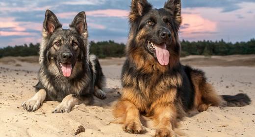 cele mai frumoase rasa de caini din lume catei ciobanesti germani
