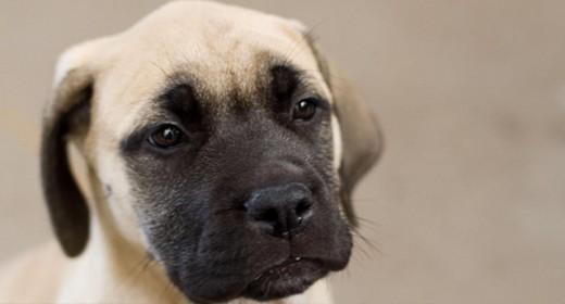 cele mai frumoase rasa de caini din lume catel bullmastiff