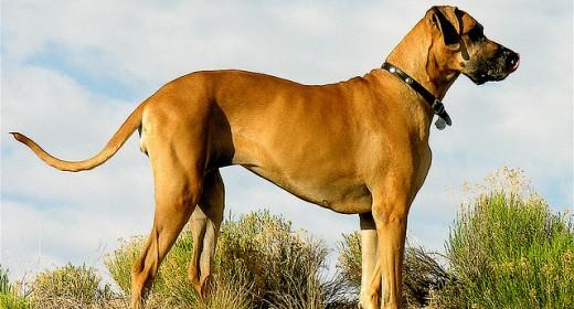 cele mai frumoase rasa de caini din lume dog german