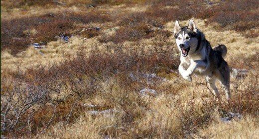 cele mai frumoase rasa de caini din lume husky siberian