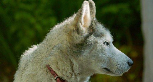 cele mai frumoase rasa de caini din lume husky
