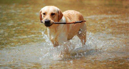 cele mai frumoase rasa de caini din lume labrador retreiver in apa