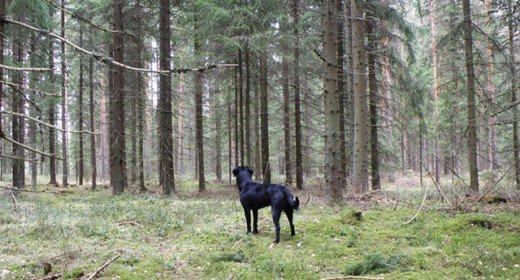 cele mai frumoase rasa de caini din lume labrador retreiver in padure