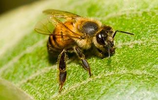 top 5 insecte cu cele mai mari colonii albina de miere africanizata