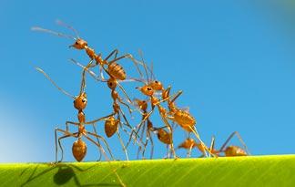 top 5 insecte cu cele mai mari colonii furnicile de foc