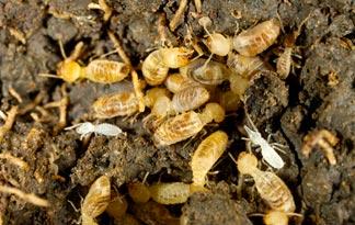 top 5 insecte cu cele mai mari colonii termitele movila