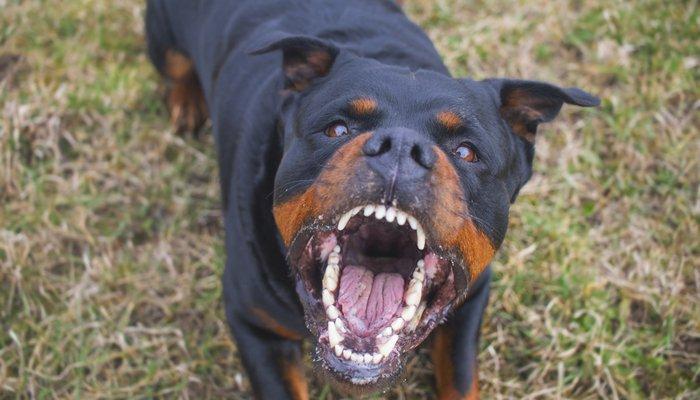 caini de lupta Rottweiler
