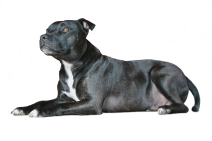 lupte de caini Staffordshire Bull Terrier