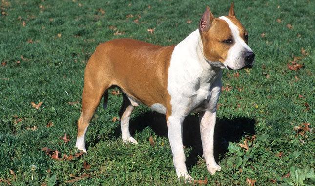 lupte de caini Staffordshire Terrier American