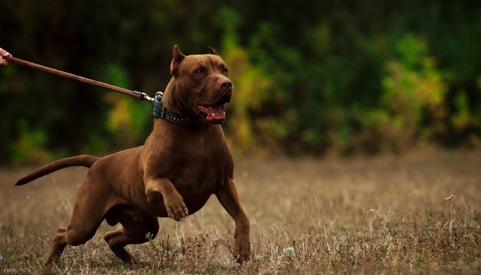 lupte de caini pit bull terrier american