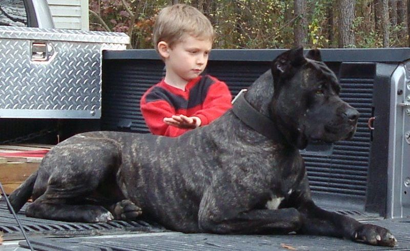 bandog with child