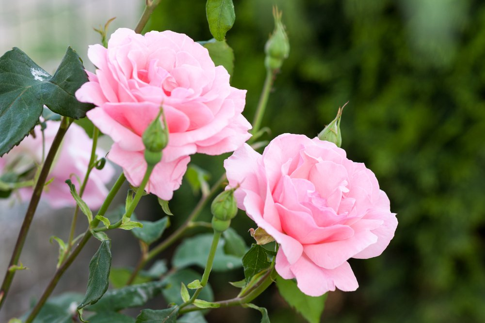 Most Fragrant Flowers: rose flower