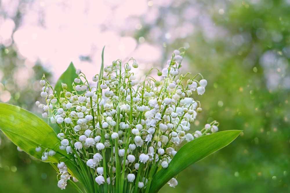 Sweet Alyssum Flower: lily of the valley flower
