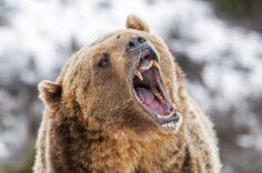 10 cele mai periculoase animale sălbatice din Canada