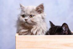 Cele mai frumoase 10 rase de pisici din lume !