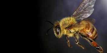 De ce scade numărul albinelor?