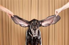 Cainele cu cele mai lungi urechi din lume!