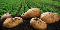 De ce fructul cartofului nu poate fi mâncat?