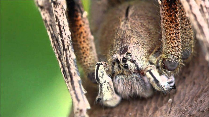 Cei mai periculosi paianjeni din lume
