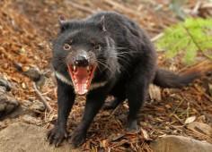 Diavolul tasmanian