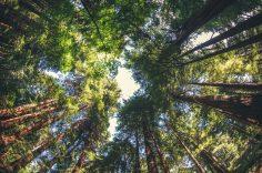Cei mai vechi copaci din lume