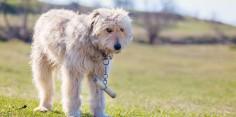 De ce câinii ciobăneşti poartă jujeu?