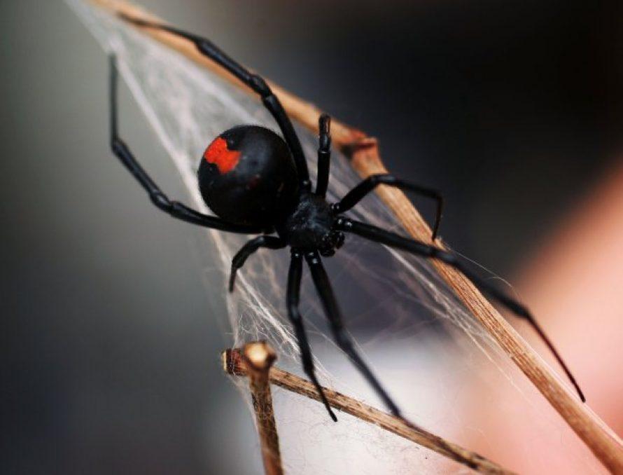 Paianjenul Vaduva Neagra – Caracteristici